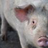 非洲猪瘟病毒酶的独特结构可以促进药物的开发