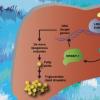 揭开非酒精性脂肪性肝病背后的生物学