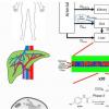 虚拟肝模型可以帮助降低对乙酰氨基酚和其他药物的过量用药风险