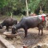牛的杀虫剂治疗可杀死沙蝇和防治利什曼病