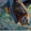 在蝙蝠中也发现了在夏天使人真正腹痛的寄生虫