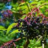 新研究表明接骨木莓如何抵抗流感病毒