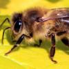 通过测试蜂毒及其主要成分蜂毒素对小鼠和人类细胞的作用
