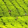 研究表明 食用绿茶可改善肥胖小鼠的代谢和整体健康