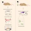 脑电波刺激减少小鼠阿尔茨海默氏症斑块