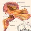 肠系膜 研究人员将部分消化系统重新分类为器官