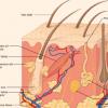 研究 皮肤有助于调节血压和心率