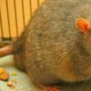 大鼠研究表明 肥胖是炎症性疾病