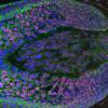 新方法从真皮乳头细胞产生人的头发生长