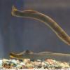 研究人员发现 修复鱼类脊髓的基因也存在于哺乳动物中