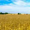 研究人员将面包小麦基因组拼凑在一起
