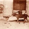 研究为塔斯马尼亚虎和狼之间惊人的相似性提供了新的思路
