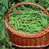 一个国际研究者联盟对普通豌豆的基因组进行了测序
