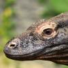 研究人员的科莫多巨蜥序列基因组