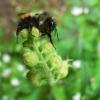 研究人员鉴定出黑尾大黄蜂中的颜色转换基因