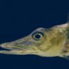 冰鱼基因组揭示了对极端南极环境的适应性