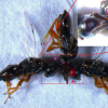 科学家使用CRISPR-Cas9创建红眼突变黄蜂