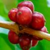 遗传研究人员的罗布斯塔咖啡序列基因组