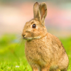 DNA研究为兔的驯化提供了新的思路
