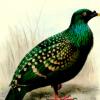 DNA研究证明斑点绿鸽是不同物种