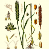 遗传研究人员揭示了小麦基因组的吃水序列