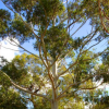 遗传研究者桉树的序列基因组