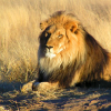 新的遗传学研究重建了狮子的分布历史