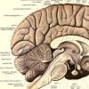 基因科学家确定了人类大脑发育的关键基因