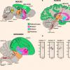 与人类语言有关的基因影响小鼠的人声交流