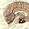 研究人员确定与更大大脑有关的新基因家族