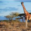 遗传分析揭示了四种不同的长颈鹿物种 而不是一种