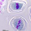 减数分裂是有性生殖生物中细胞分裂的一种特殊形式