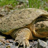 研究人员确定了鳄龟温度依赖性性别决定的基因