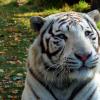 基因研究人员解决了白虎之谜