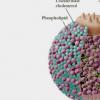 科学家确定了影响坏胆固醇的四个基因