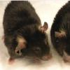 科学家鉴定出导致小鼠肥胖的基因