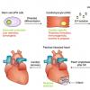 AMSBIO iMatrix Laminin-221用于纯化和维持心肌细胞