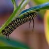CRISPR蝇将蝴蝶书中的叶子带走 以利用捕食者阻止毒素