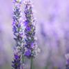 研究人员发现传统草药如何帮助降低血压