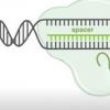 笨拙的CRISPR突显基因调控的平稳动作