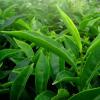 绿茶化合物可以帮助抵抗多药耐药细菌