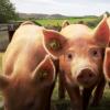 产生猪和人细胞的潜在干细胞