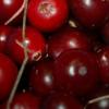 蔓越莓抗生素鸡尾酒可能会克服细菌耐药性