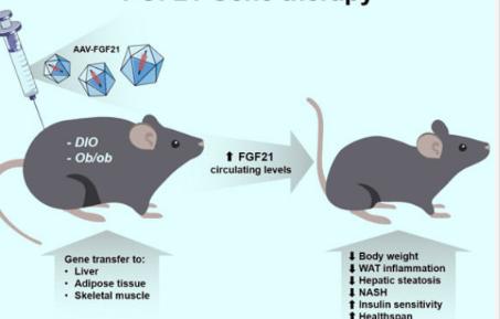 基因疗法可治疗小鼠的胰岛素抵抗和肥胖症
