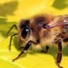 蜂毒可以帮助治疗特应性皮炎