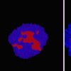机器学习方法有助于发现控制诱导多能干细胞空间组织的新方法