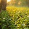 茶叶中的纳米颗粒杀死肺癌细胞