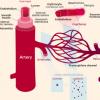 线粒体抗氧化剂使老化的血管再次年轻