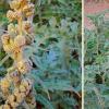 南美药用植物化合物显示出抗癌干细胞活性
