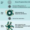 研究人员使用小鼠多能干细胞生长毛状皮肤